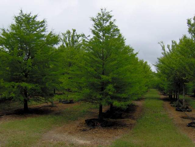 Planting Under Elm Trees : Trees archives red pebble